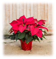 poinsettia-for-plant-sale
